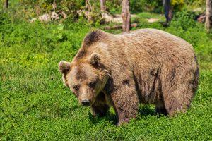 Die Fettreserven des Braunbärens schützen ihn vor Kälte im Winterschlaf.