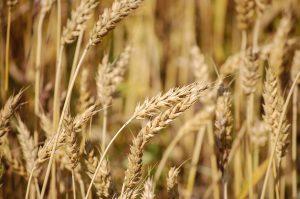 Mit Schrot, also gemahlenen Getreide hat die Schroth-Kur wenig zu tun.