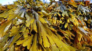 Alginat wird aus Meeres-Algen gewonnen und sättigt.