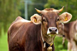 Durch das Fleisch eines infizierten Rindes kann man sich mit einem Bandwurm anstecken.