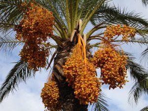 Datteln sind gesund für den Körper und wachsen an Palmen.