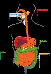 Bei einem Magen-Bypass wird die Verdauung, auf Englisch digestion, massiv und dauerhaft verändert.