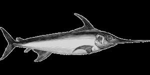 Die Schwertfisch-Diät orientiert sich am anatomischen Körperbau des Fisches.