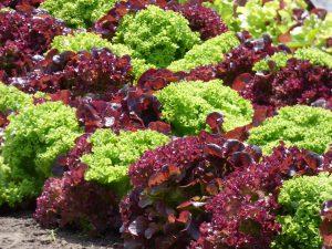 Welche Salatsorte ist die richtige?