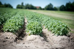Kartoffeln sind reich an Nährstoffen.