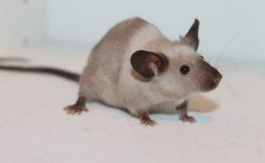 Eine Studie an Mäusen ergab, das mehr Bewegung nicht zwangsläufig zum Abnehmen führen muss.