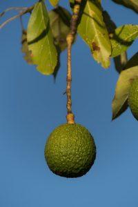 Die Superfrucht Avocado reift erst nach dem Pflücken vollständig.