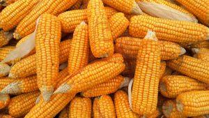 Gemüsesorten die viel Kohlenhydrate enthalten, wie beispielsweise Mais sollte man bei einer Diät meiden.