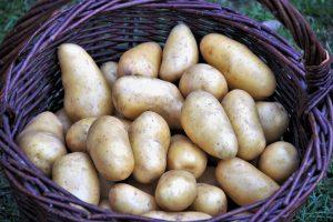 Nur richtig gelagerte Kartoffeln bleiben lang frisch.