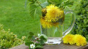 """Auch Löwenzahn, auf Englisch """"Dandelion"""" ist vorteilhaft bei der Krebs-Diät."""