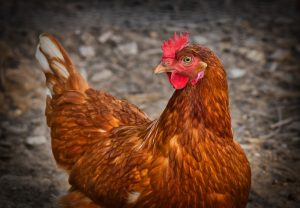 Geflügel liefert fettarmes, proteinreiches Fleisch.