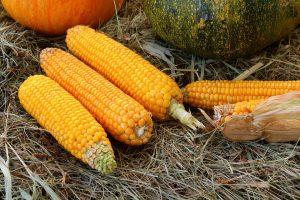 Mais gehört zu den Lebensmitteln auf die man in den ersten Wochen der Virgin-Diät verzichtet.